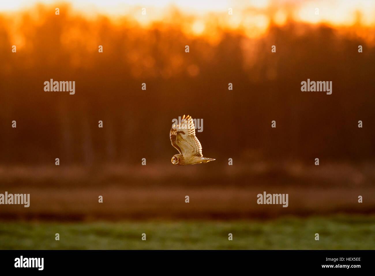 Un hibou des marais autour de la recherche de nourriture juste avant le coucher du soleil. Photo Stock