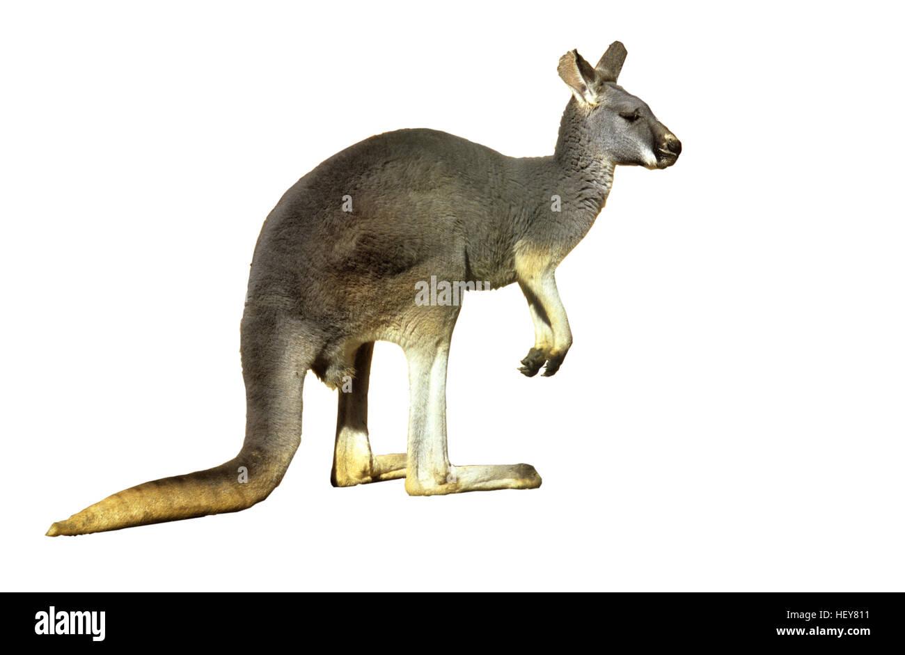 Kangourou gris, Macropus giganteus Photo Stock