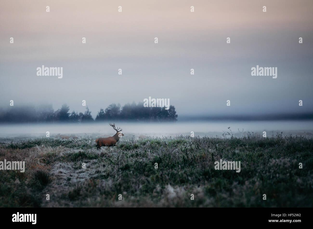 Belle red deer stag sur le champ près de la forêt brumeuse de brouillard en automne paysage en Biélorussie. Photo Stock