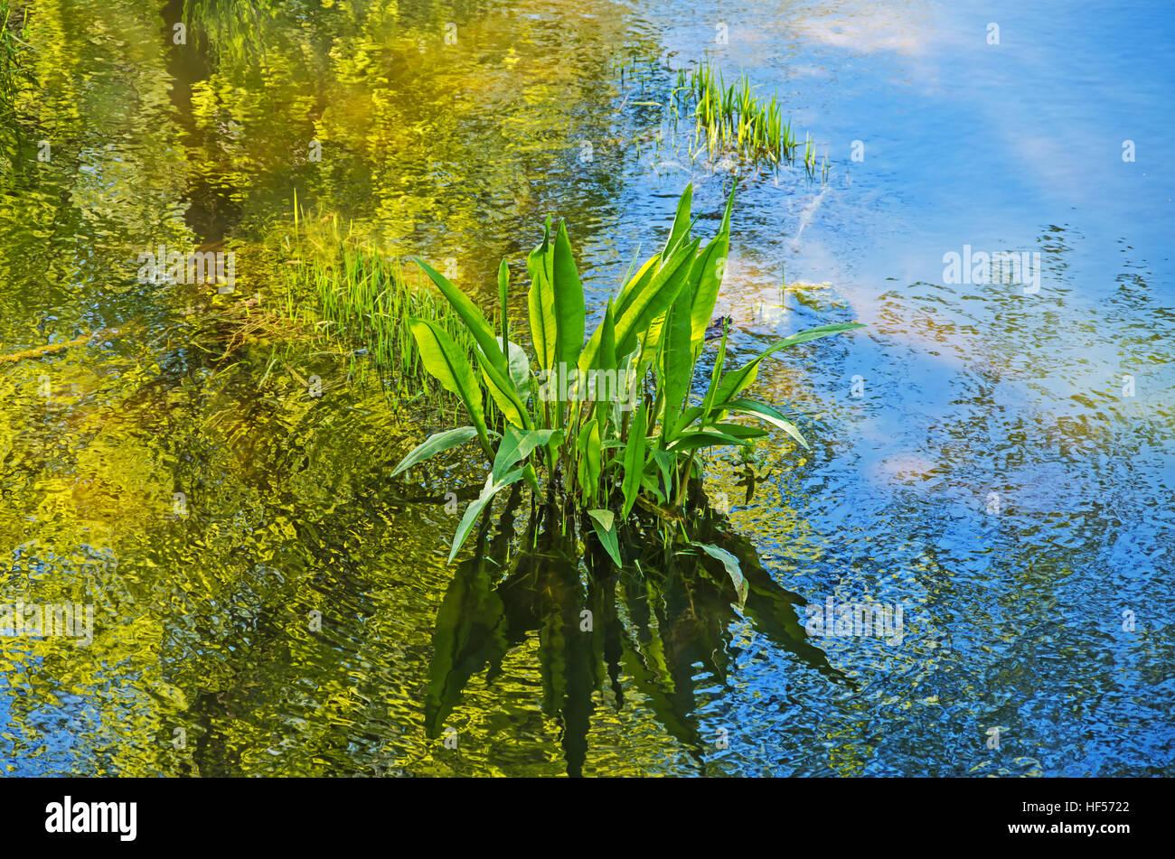 Algues bleues dans les marécages de la rivière de matin de printemps ensoleillé Banque D'Images