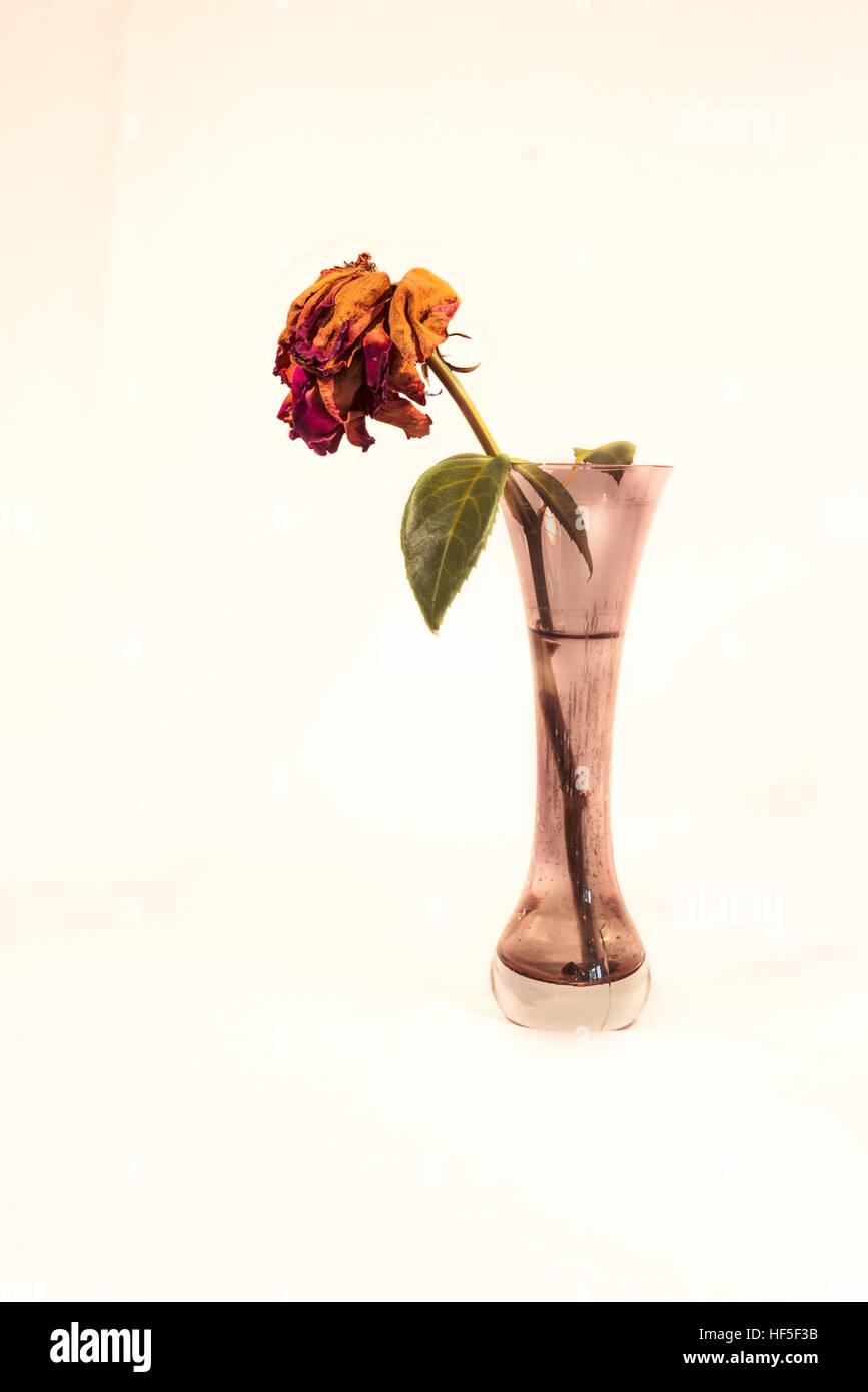 Rose morte dans un vase aux pétales flétris Banque D'Images