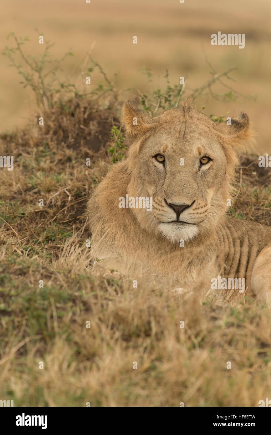 Jeune lion Photo Stock