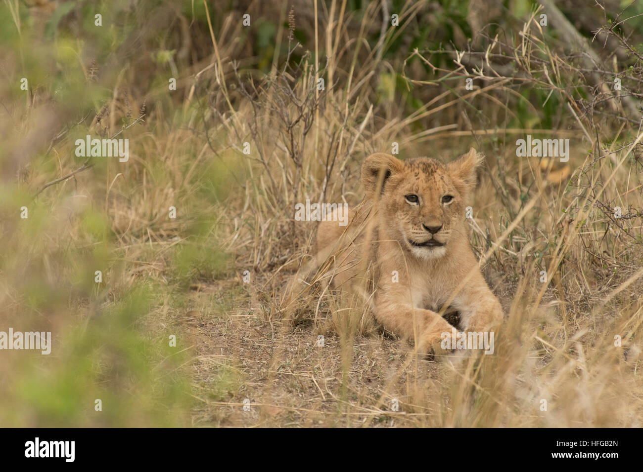 Lion cub lying et fixant Photo Stock