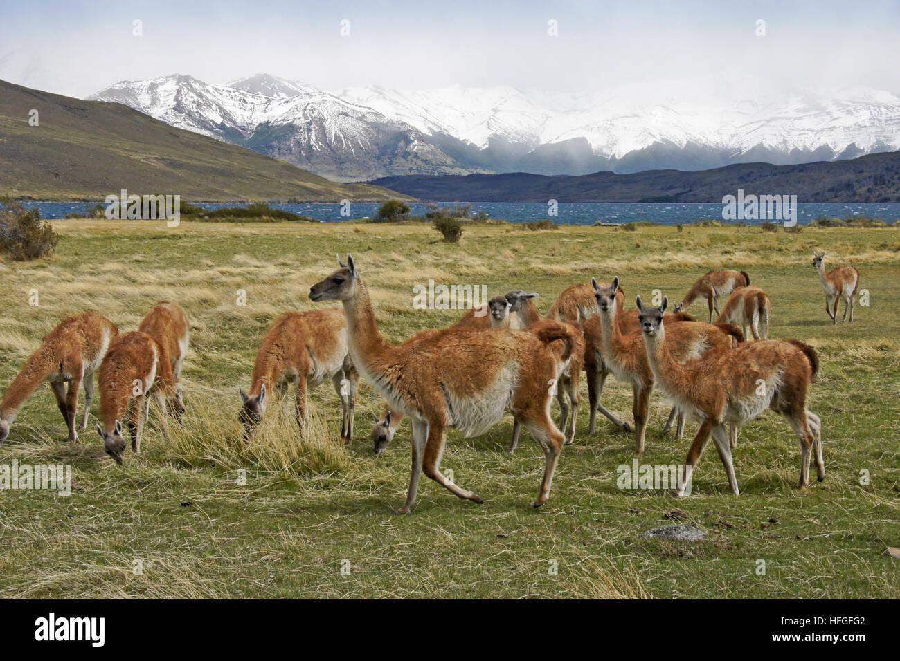 Guanacos paissant dans une prairie près de Laguna Azul, Torres del Paine, Patagonie, Chili NP Banque D'Images