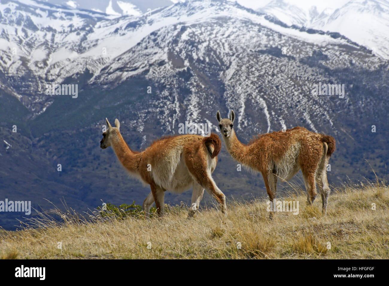 Guanacos dans NP Torres del Paine, Patagonie, Chili Banque D'Images