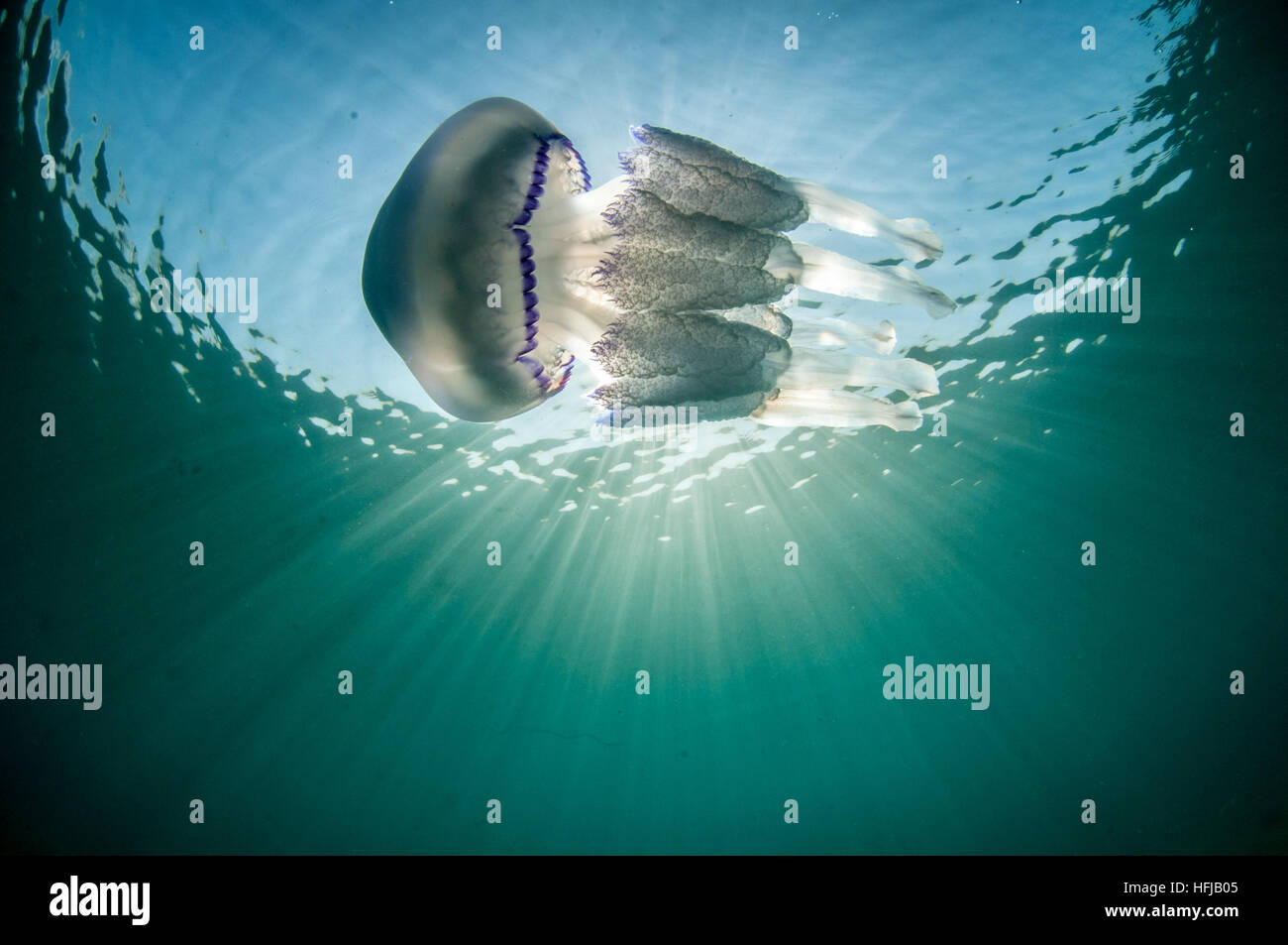 Rhizostoma pulmo, méduses, en mer Méditerranée, Comarruga, Costa Daurada, Espagne Photo Stock