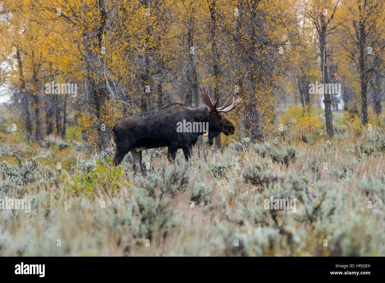 Bull Moose dans l'armoise Grand Tetons National Park Banque D'Images