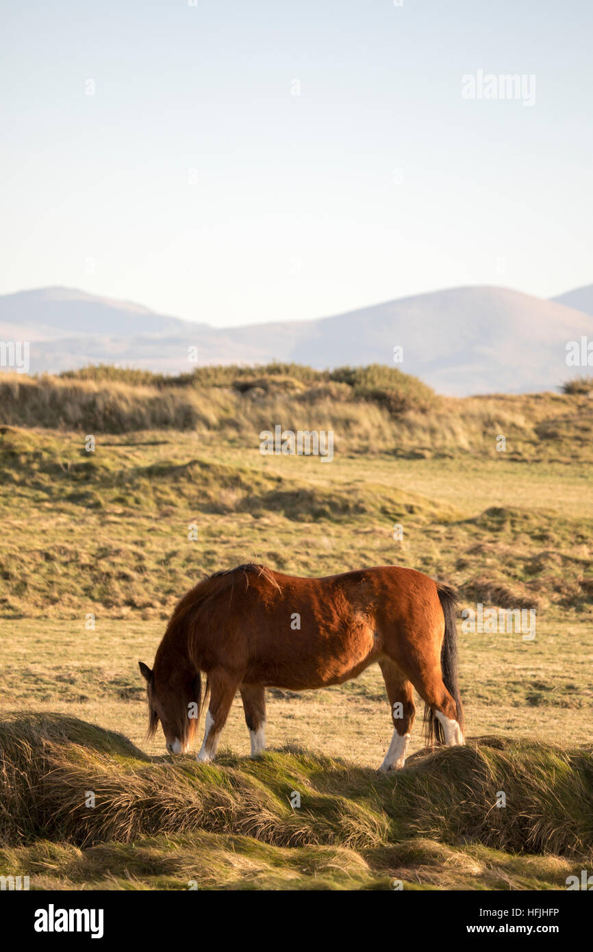 Sur l'île Llanddwyn poney de la côte d'Anglesey au Pays de Galles, Royaume-Uni, Newborough Photo Stock