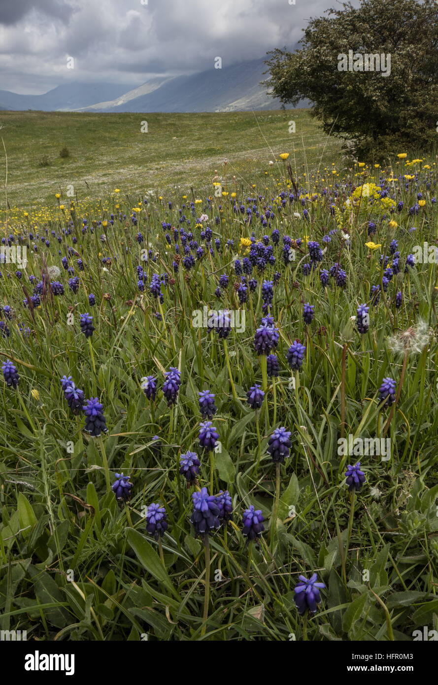 Masses de muscaris dans des pâturages, Parc National Gran Sasso, Apennins, en Italie. Photo Stock