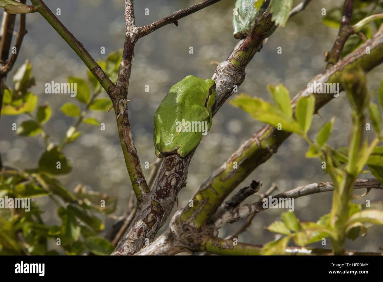 La rainette italienne, Hyla intermedia dans rose bush, Abruzzes, Apennins, en Italie. Photo Stock