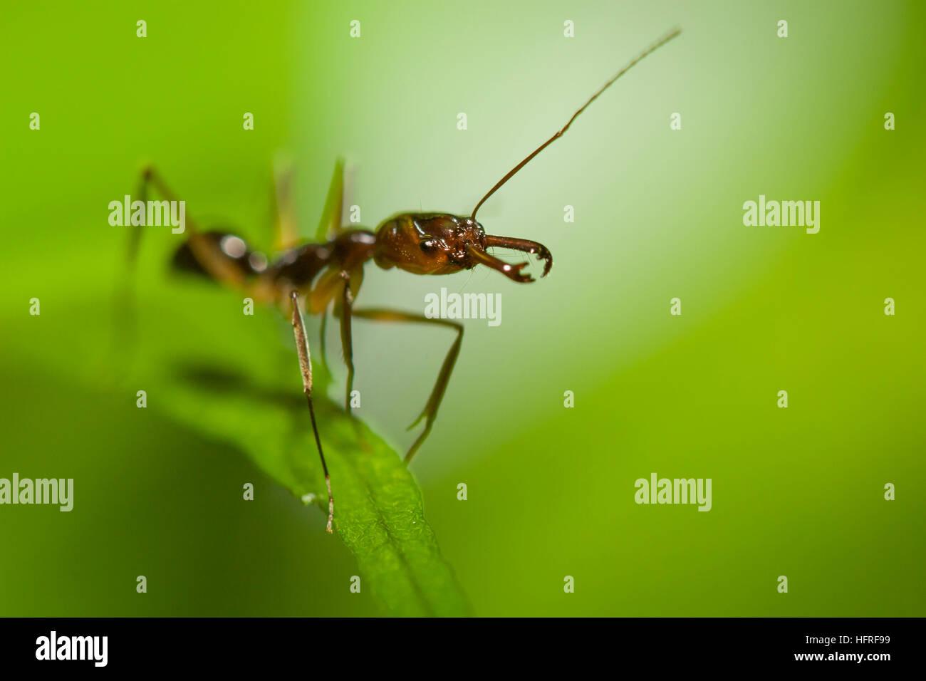 Un piège à mâchoires (fourmi Odontomachus sp.). Photo Stock