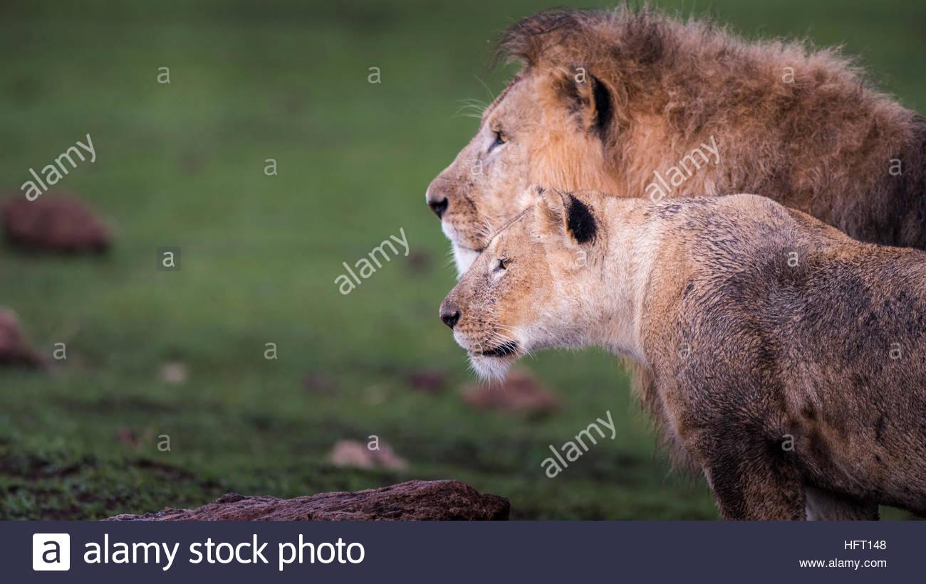 Compagnons de Lion Photo Stock