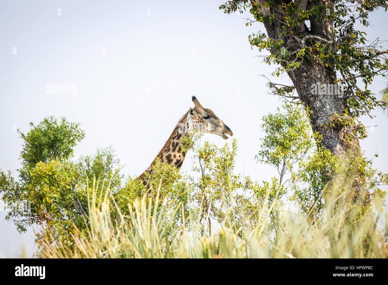 Chef du sud de Girafe (Giraffa camelopardalis), Sandibe Camp, à côté de la Moremi, Okavango Delta, Kalahari, Botswana, Afrique du Sud Banque D'Images