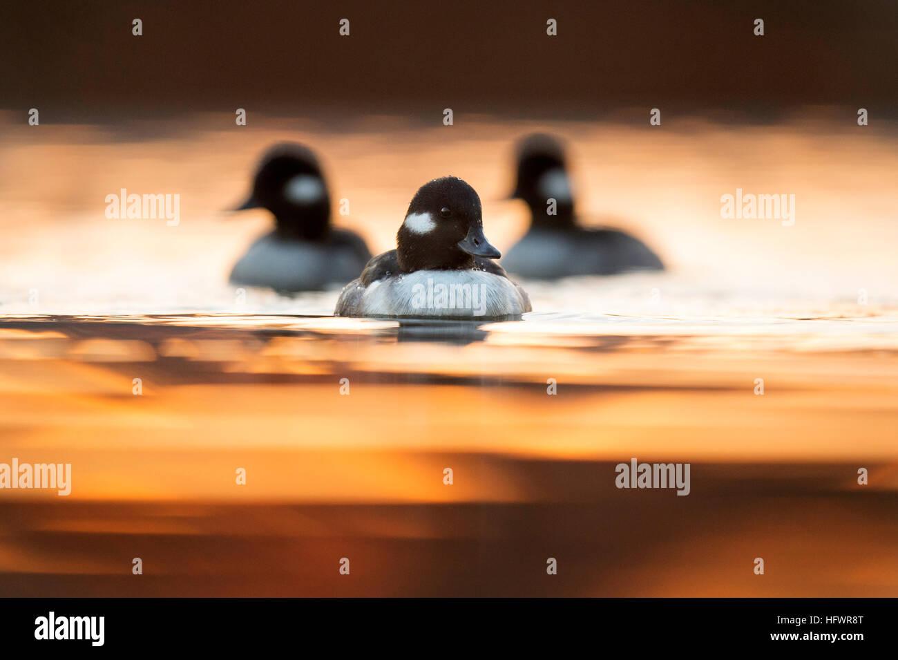 Un petit groupe de Petits Garrots hens nager directement vers moi dans le reflet du soleil levant. Photo Stock