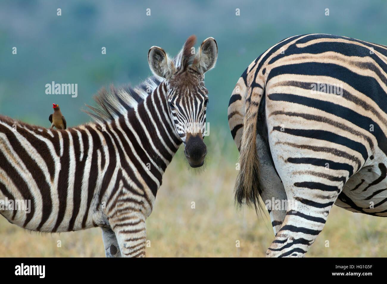 Ox-pecker et le zèbre de Burchell (Equus quagga burchellii) Natal AFRIQUE DU SUD Photo Stock