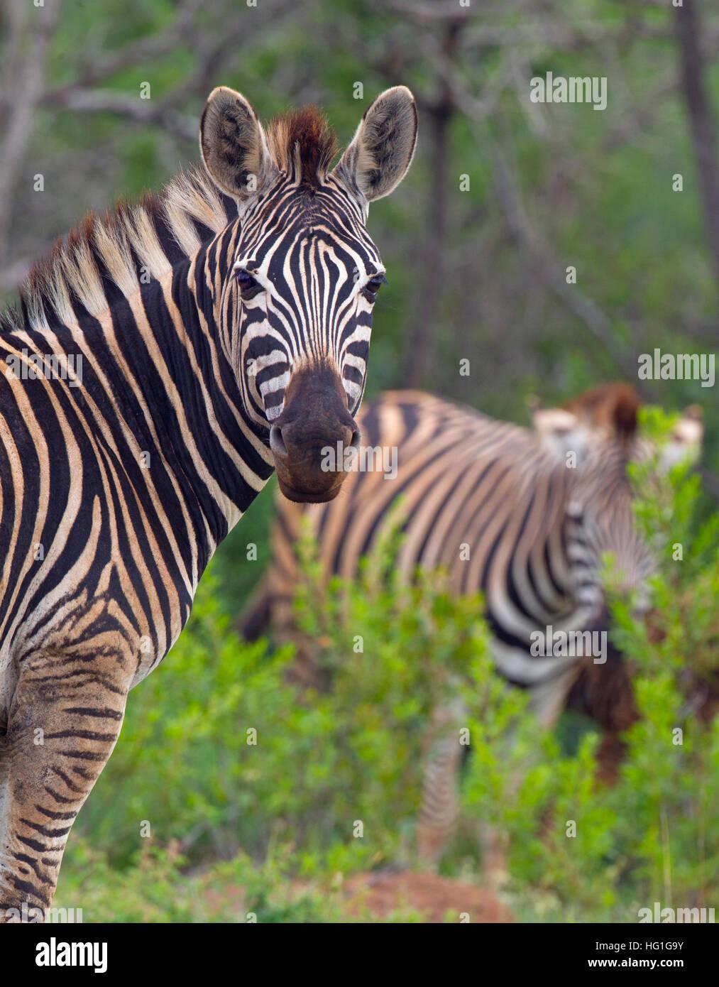 Le zèbre de Burchell Equus quagga burchellii S. Africa Natal Photo Stock