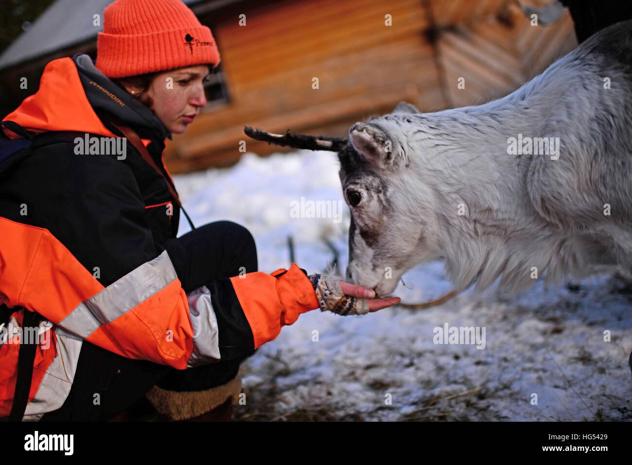 Jeune femme nourrit un renne dans l'élevage de rennes de Tuula Airamo, un S·mi descendant, par Muttus Lake. L'Inari, en Laponie, Finlande Banque D'Images