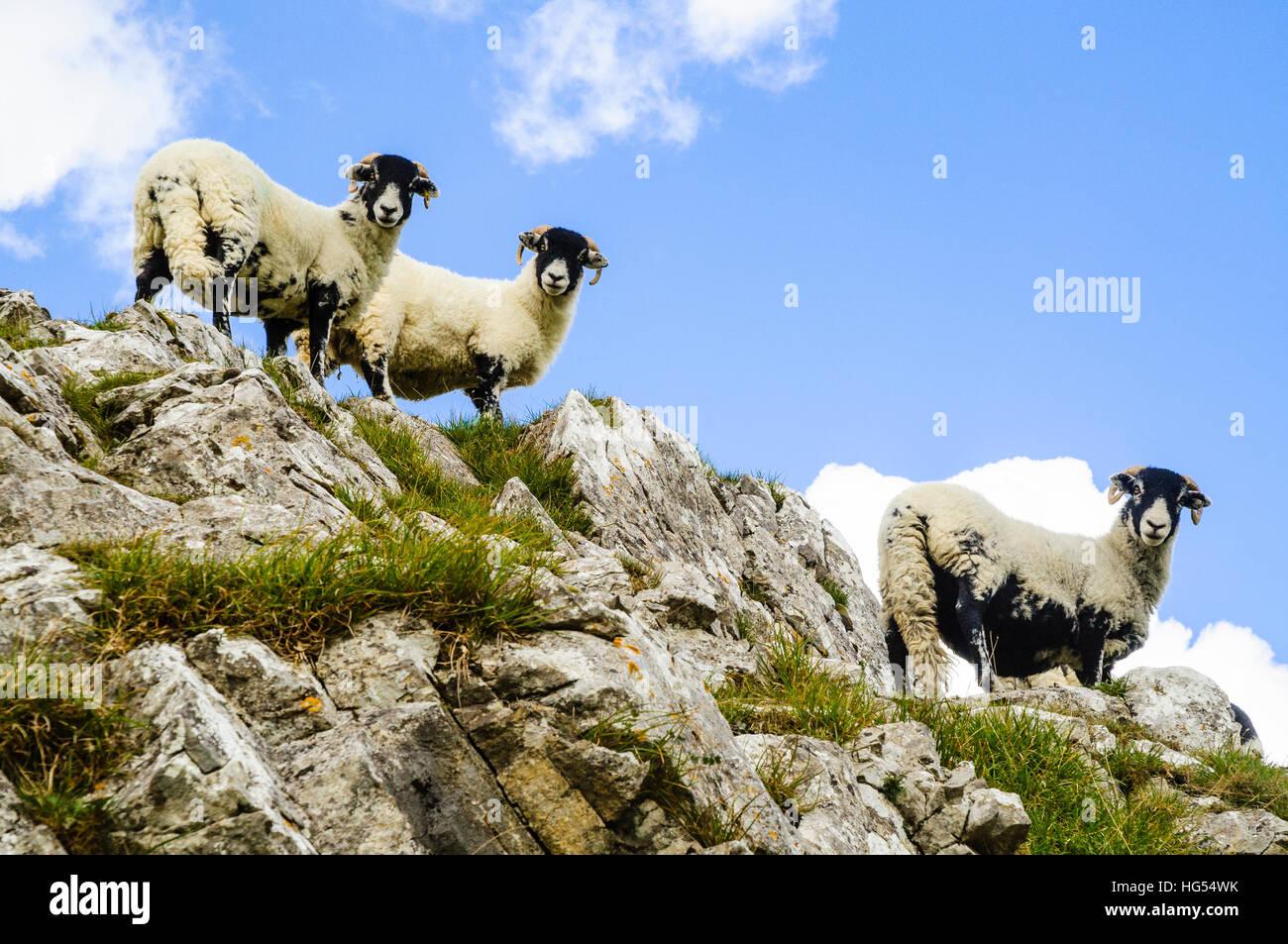 Moutons sur rocheux près de Attermire cicatrice au-dessus de s'installer dans le Yorkshire Dales National Photo Stock