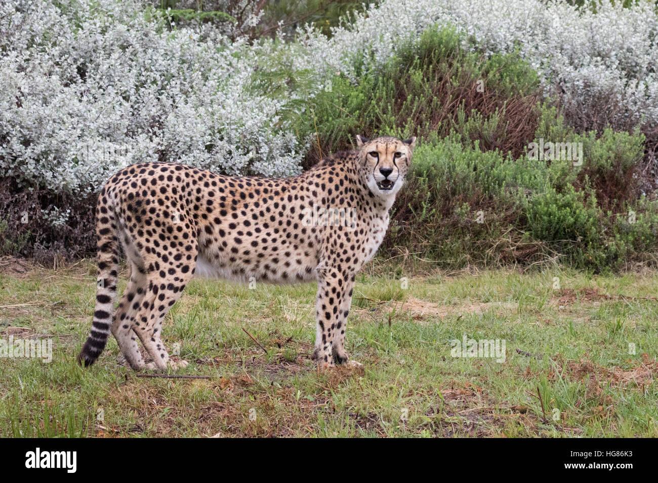Guépards adultes ( Acinonyx jubatus ) debout, vue de côté, l'Afrique Photo Stock