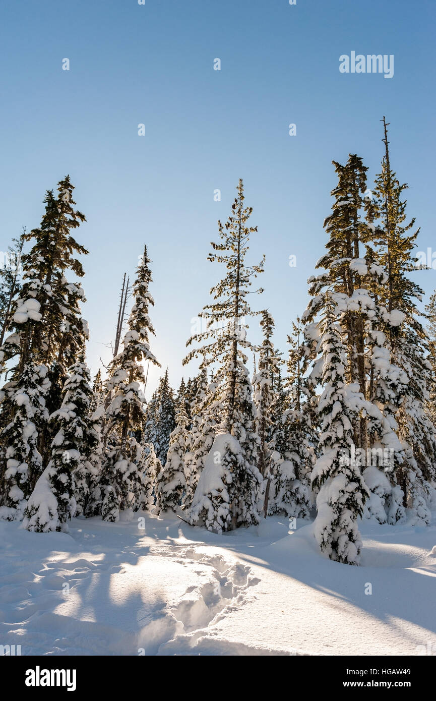Pistes pour raquettes forment un chemin d'arbres couverts de neige le long d'une journée claire Photo Stock