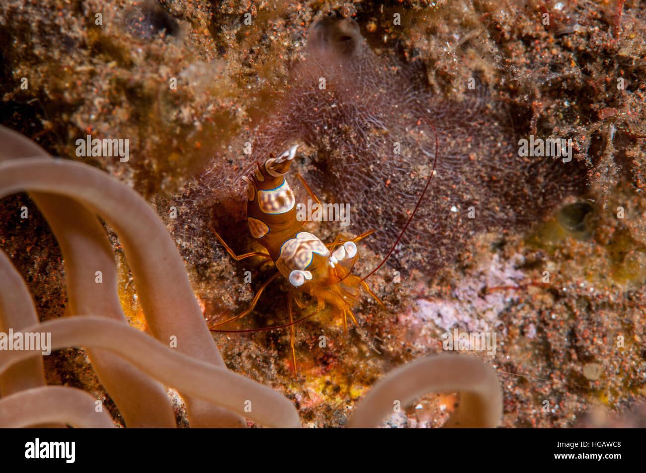 Anémone Squat (crevette Thor amboinensis), Bali, Indonésie Photo Stock