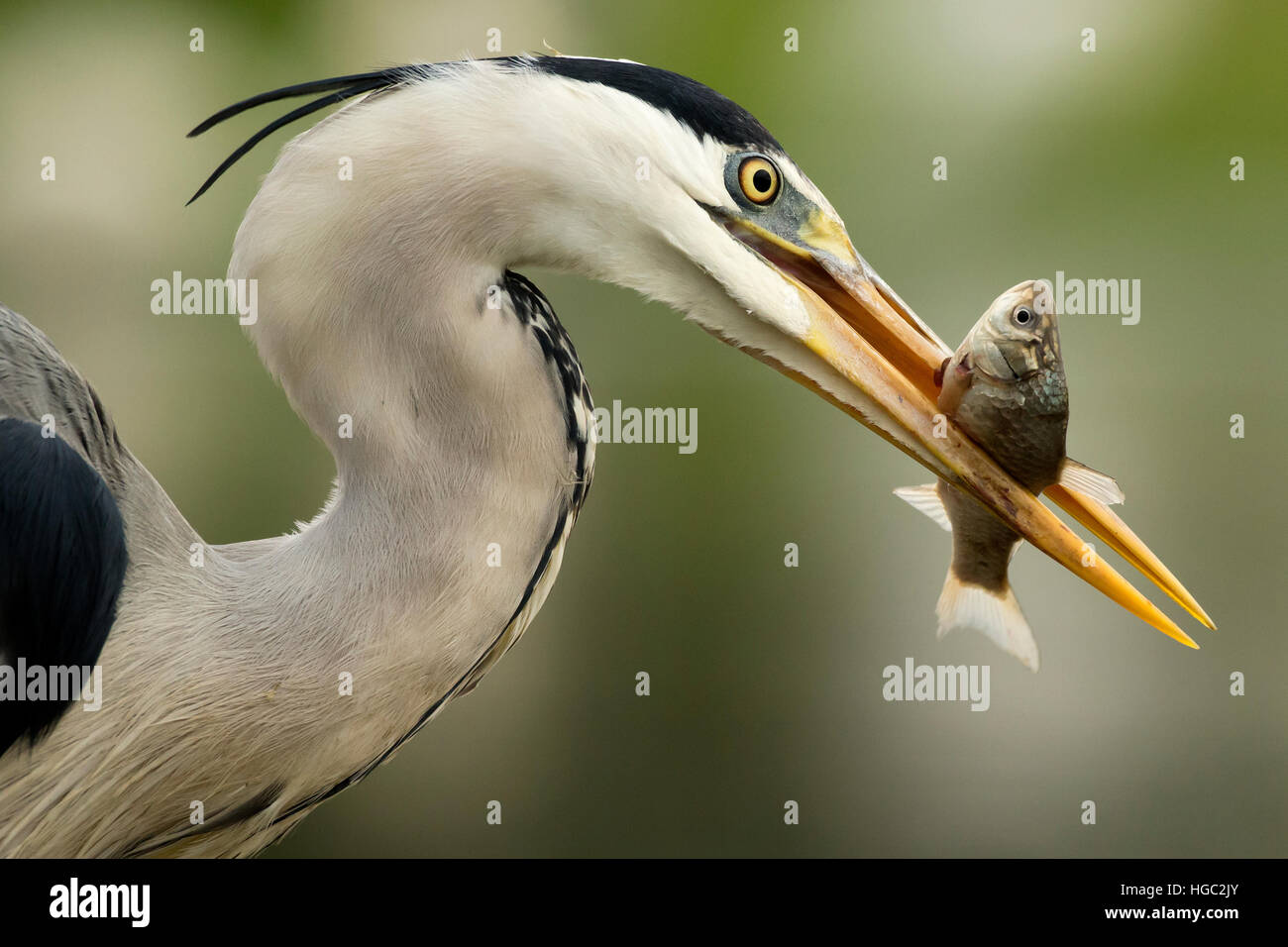 Héron cendré (Ardea cinerea) capture d'un poisson Photo Stock