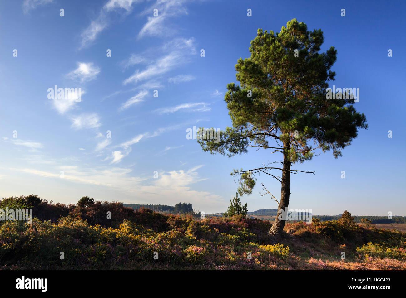 Un arbre sur Woodbury Common dans le sud de l'est du Devon. Photo Stock