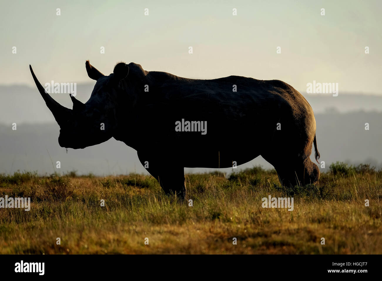 Silhouette de Rhino Photo Stock