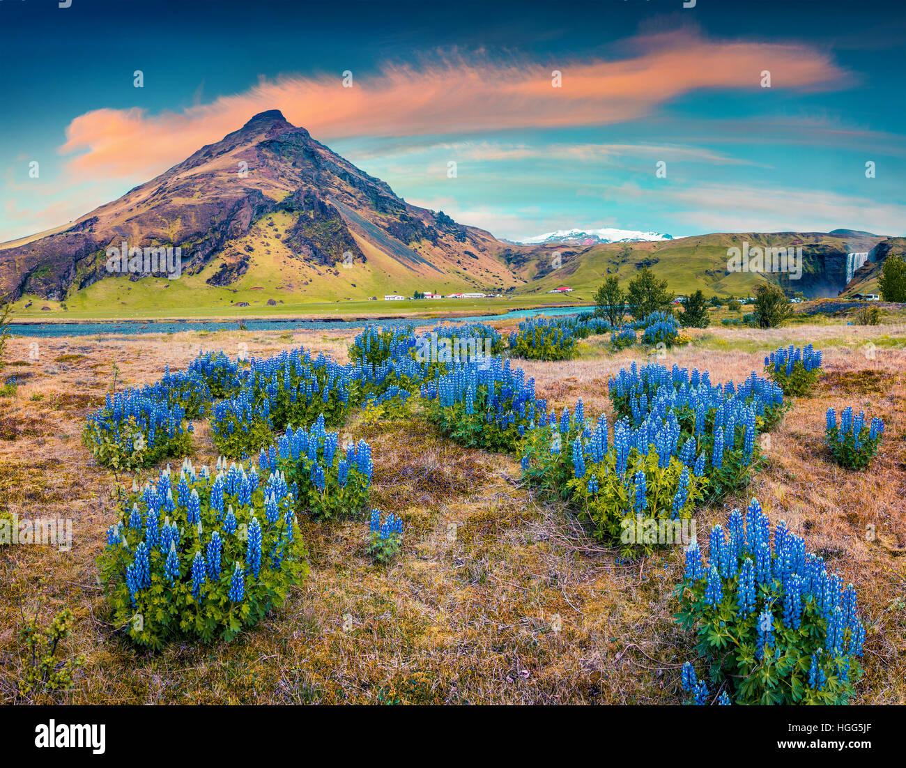 Lupin en fleurs fleurs à proximité du majestueux Skogafoss chute d'eau dans le sud de l'Islande, Photo Stock