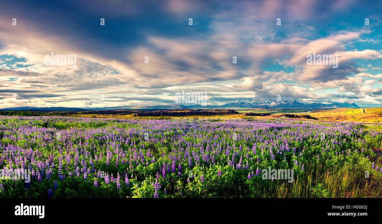 Paysage islandais typique avec domaine de lupin en fleurs fleurs dans le juin. Matin d'été ensoleillé Photo Stock