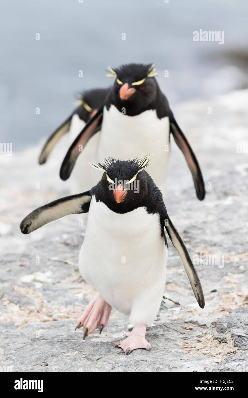 Rockhopper Penguin sur l'île plus sombre dans les Malouines Photo Stock