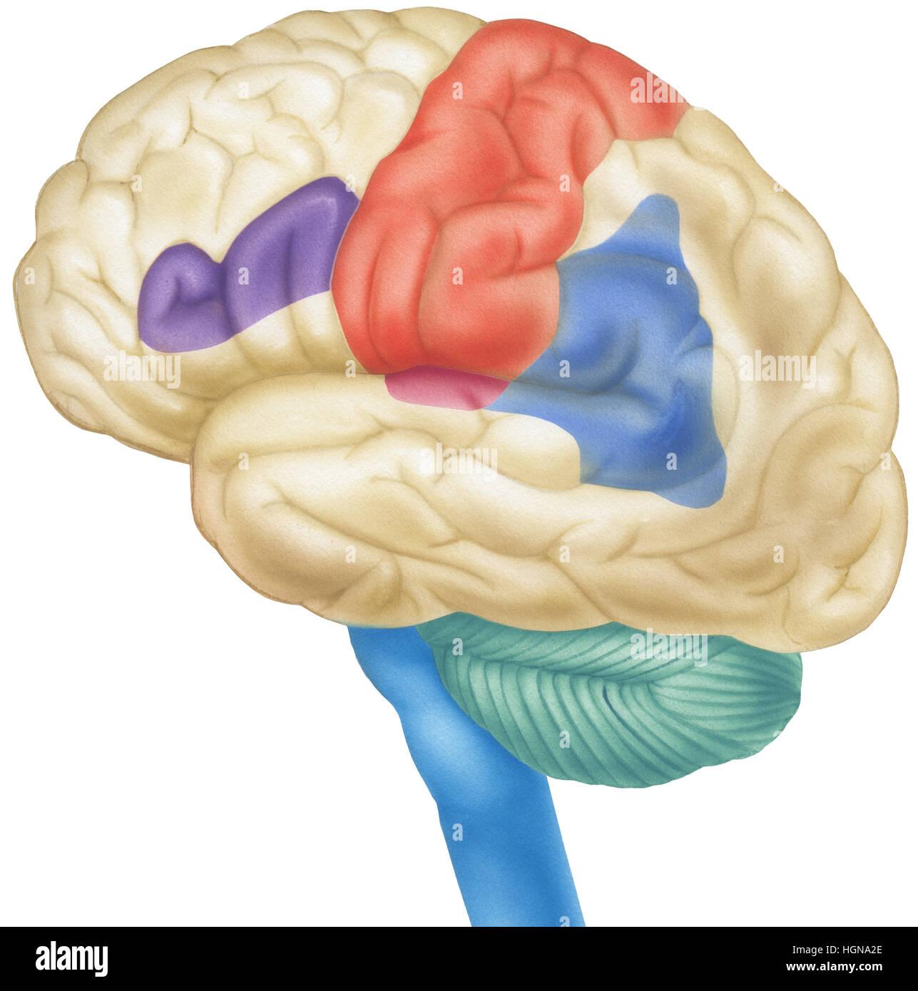 Vue latérale du cerveau humain. Indiqués sont les lobes pariétaux, cortex sensoriel, gyrus angulaire, Photo Stock