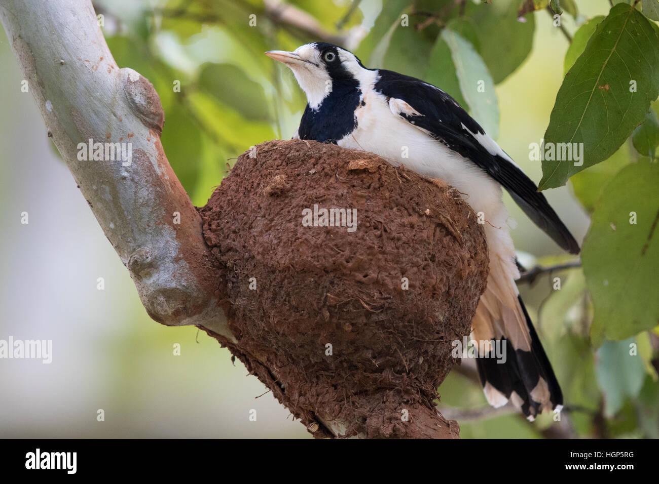 Pie-lark (Grallina cyanoleuca) sur son nid Photo Stock