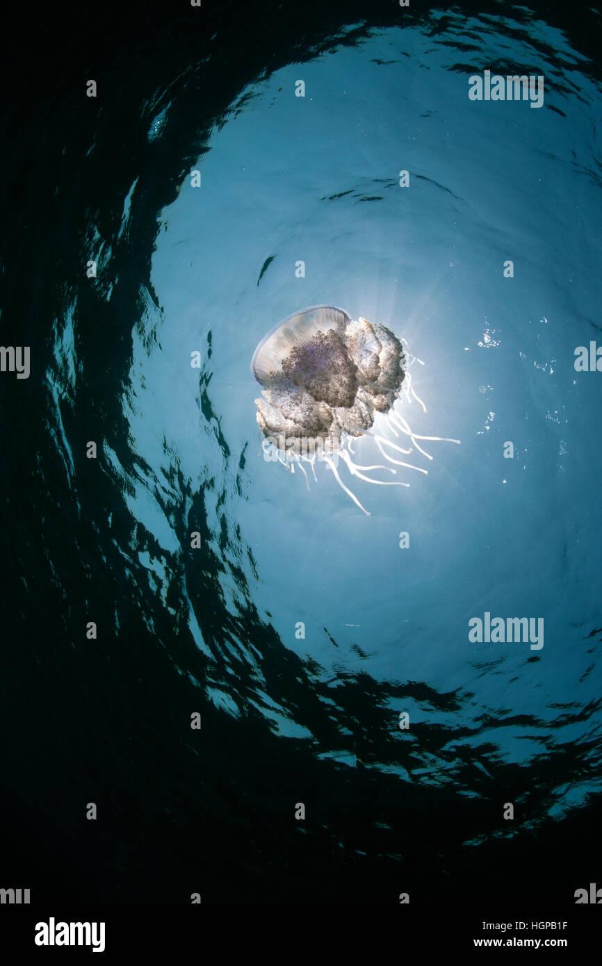 Une méduse transparente Cephea cephea est à la dérive à la surface dans les eaux bleues de la Photo Stock