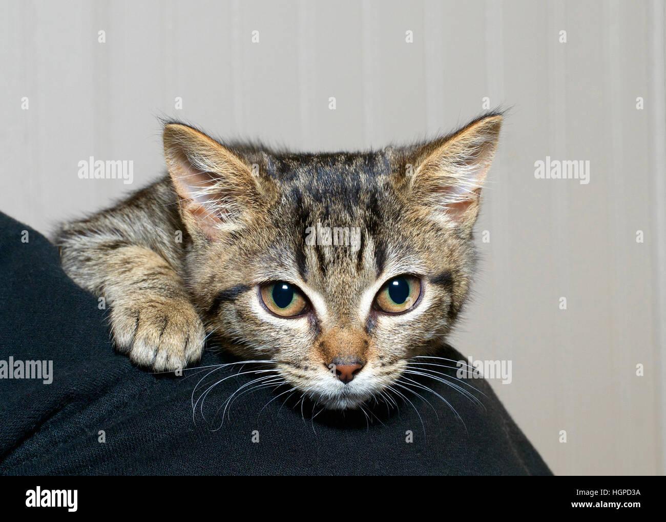 Rayé gris et noir tabby kitten accroché à l'épaule de la personne, nerveux et peur sentiment Photo Stock