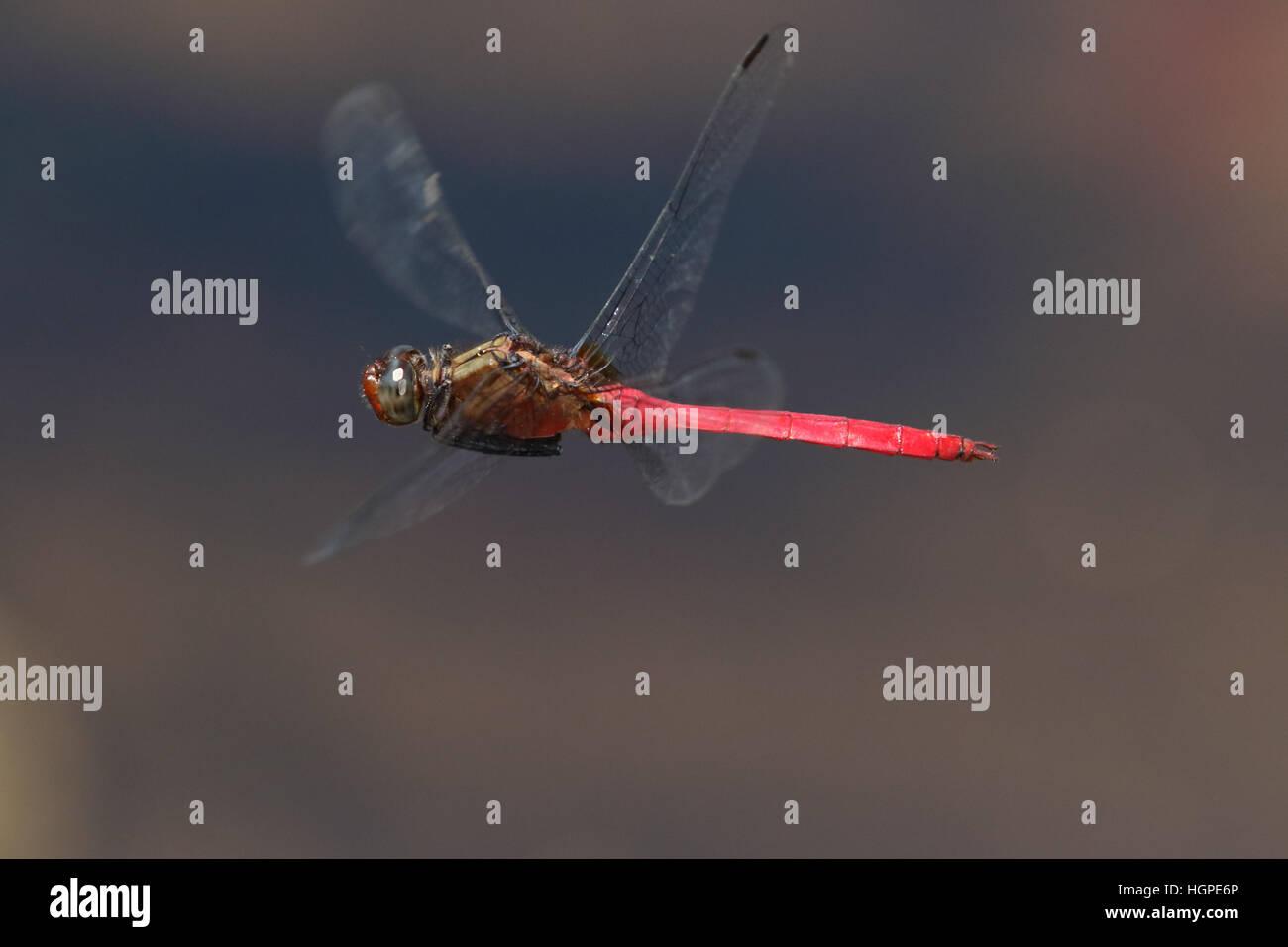 Libellule en vol fiery skimmer Photo Stock
