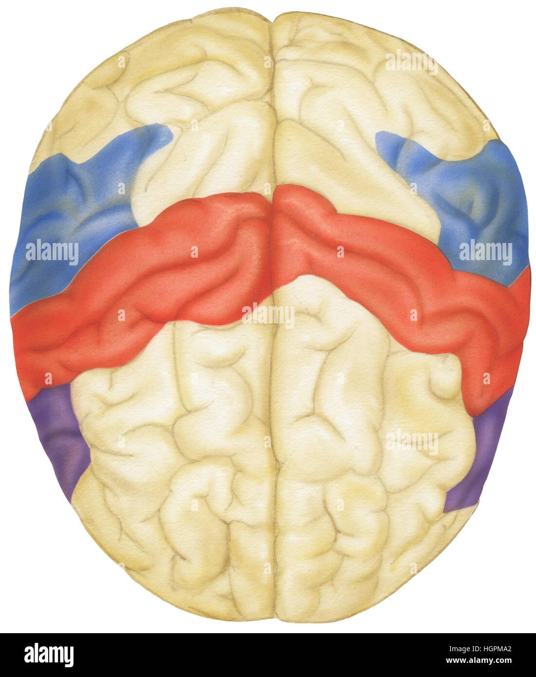 Vue supérieure du cerveau humain. Indiqués sont les lobes pariétaux, cortex sensoriel, gyrus angulaire, Photo Stock
