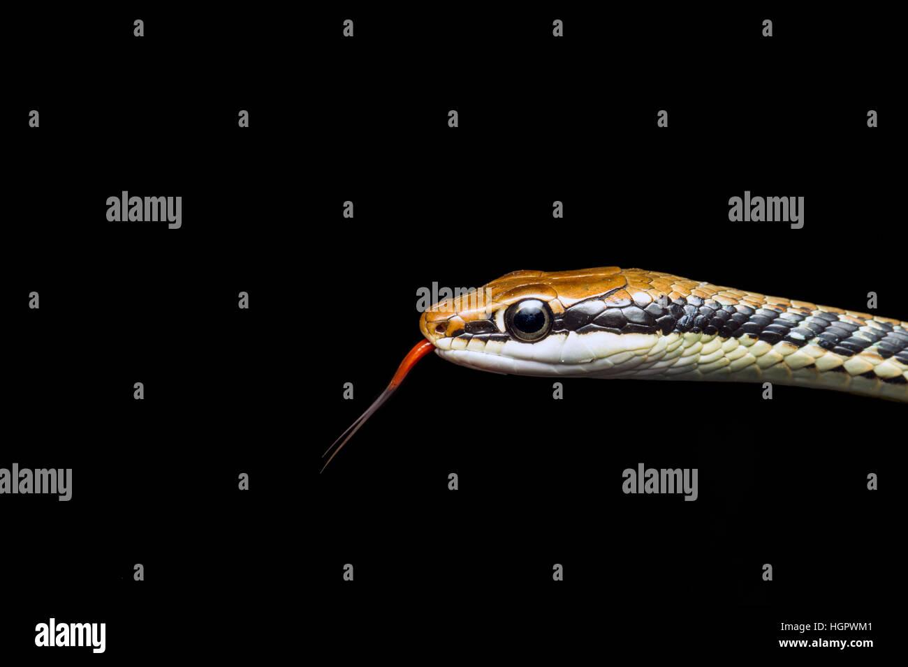 Serpent peint Bronzeback (Dendrelaphis pictus) échantillonnage des particules d'air avec une langue fourchue Photo Stock