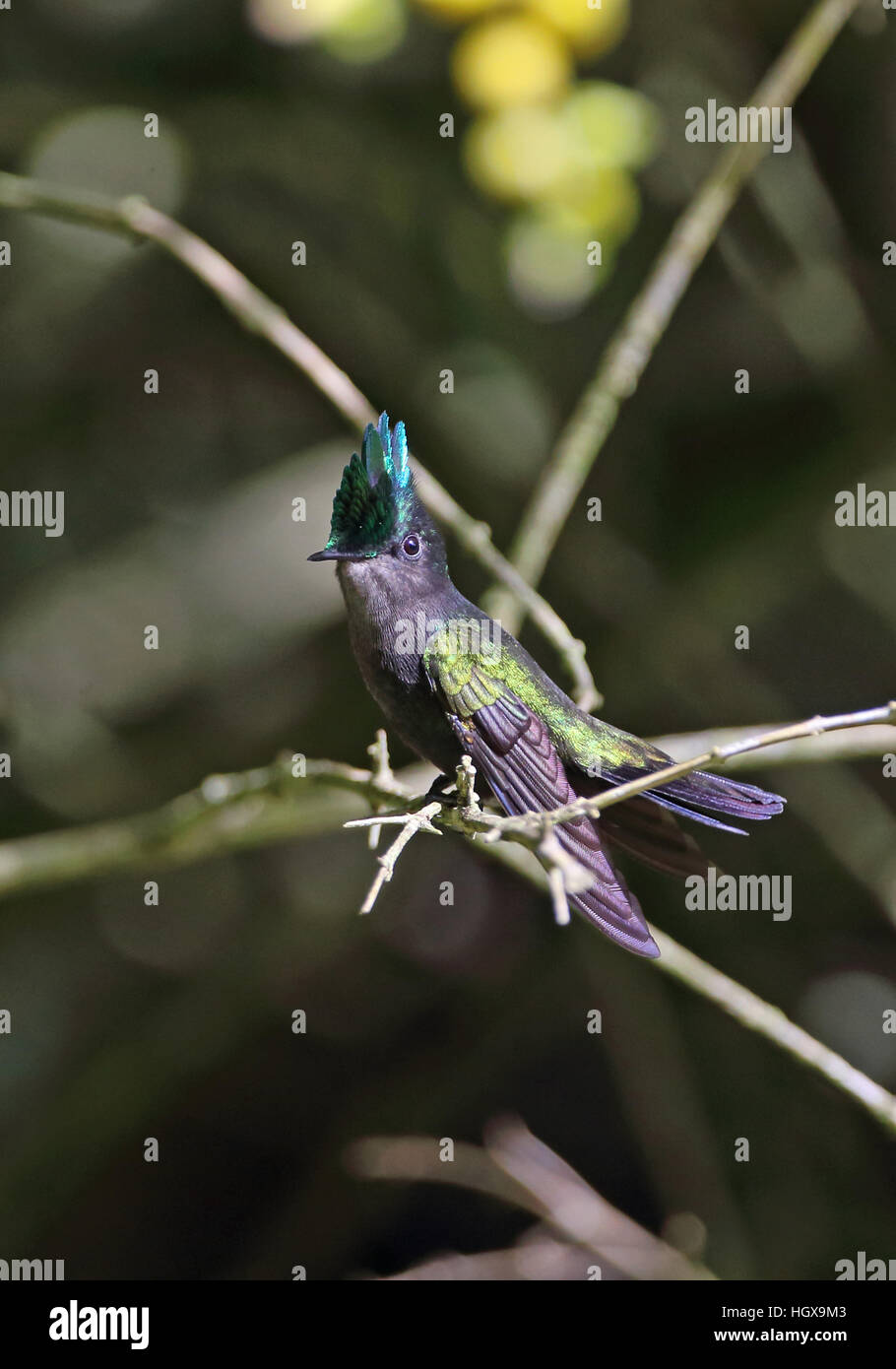 Antillean Crested Hummingbird (Orthorhyncus cristatus exilis) mâle adulte fond doux plantation, St Lucia, Petites Photo Stock