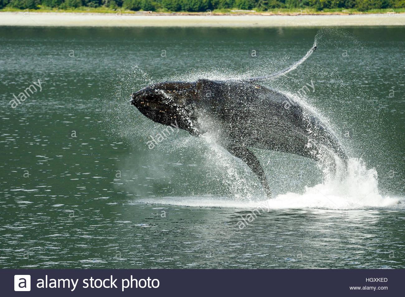 Avec la grâce d'une ballerine aquatiques, une violation des baleines à bosse dans les eaux de l'Alaska's Photo Stock