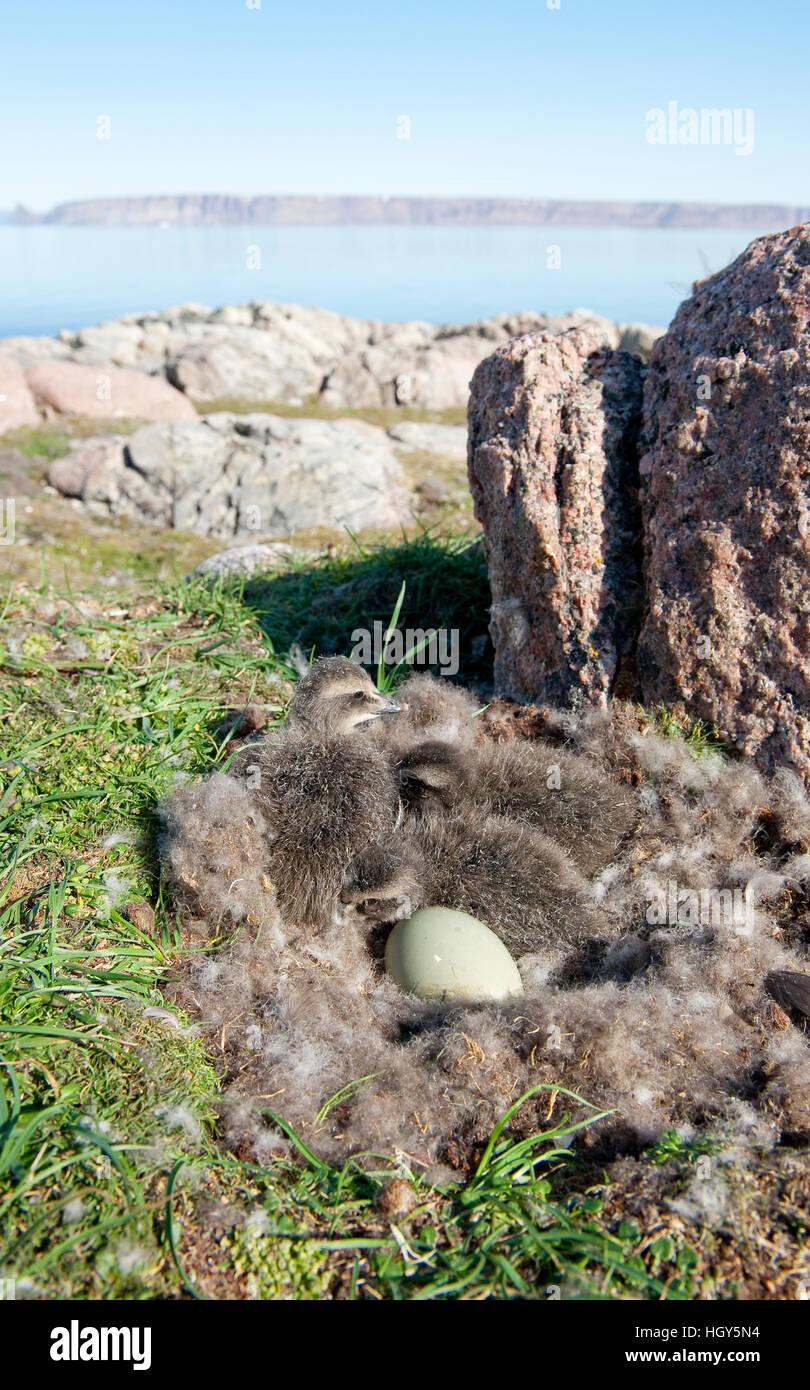 Nid d'eider commun avec les poussins et un ovule commence à éclore Banque D'Images
