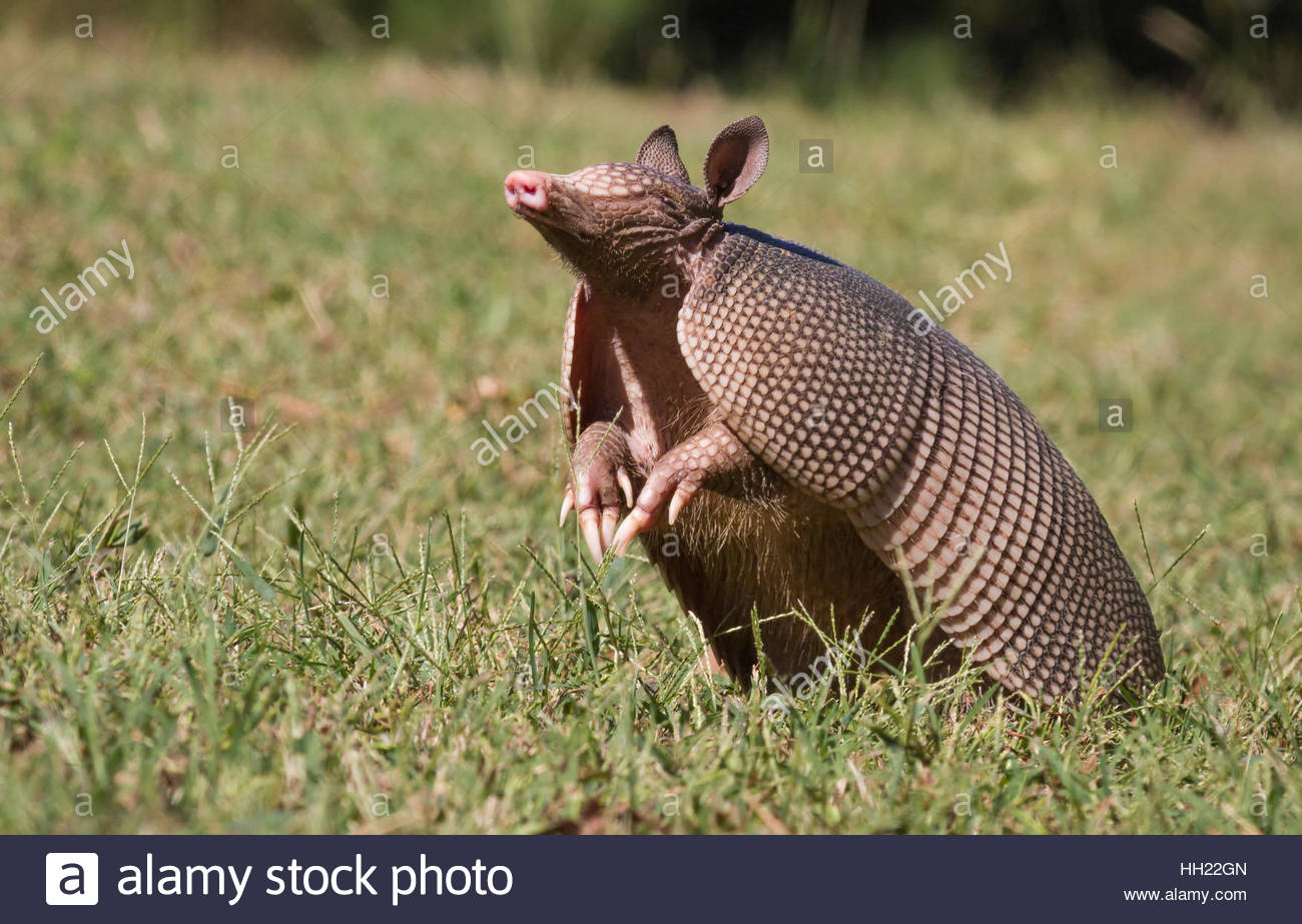 Un Armadillo Dasypus novemcinctus (Texas) reniflant l'air à la recherche d'un parfum. Photo Stock