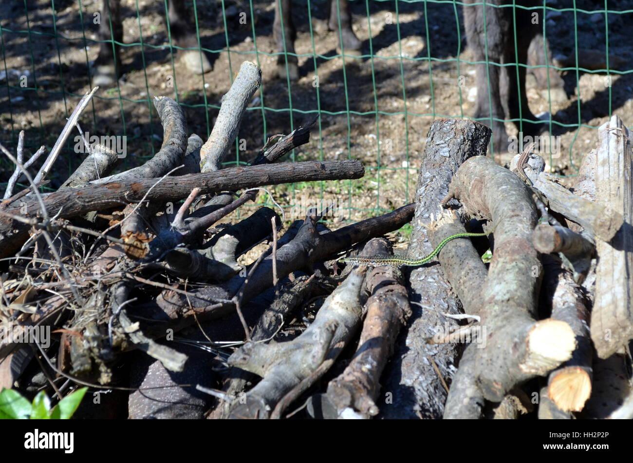 Petit Serpent de vigne verte, Ahaetulla nasuta dans un tas de Chrysopelea ornata Banque D'Images