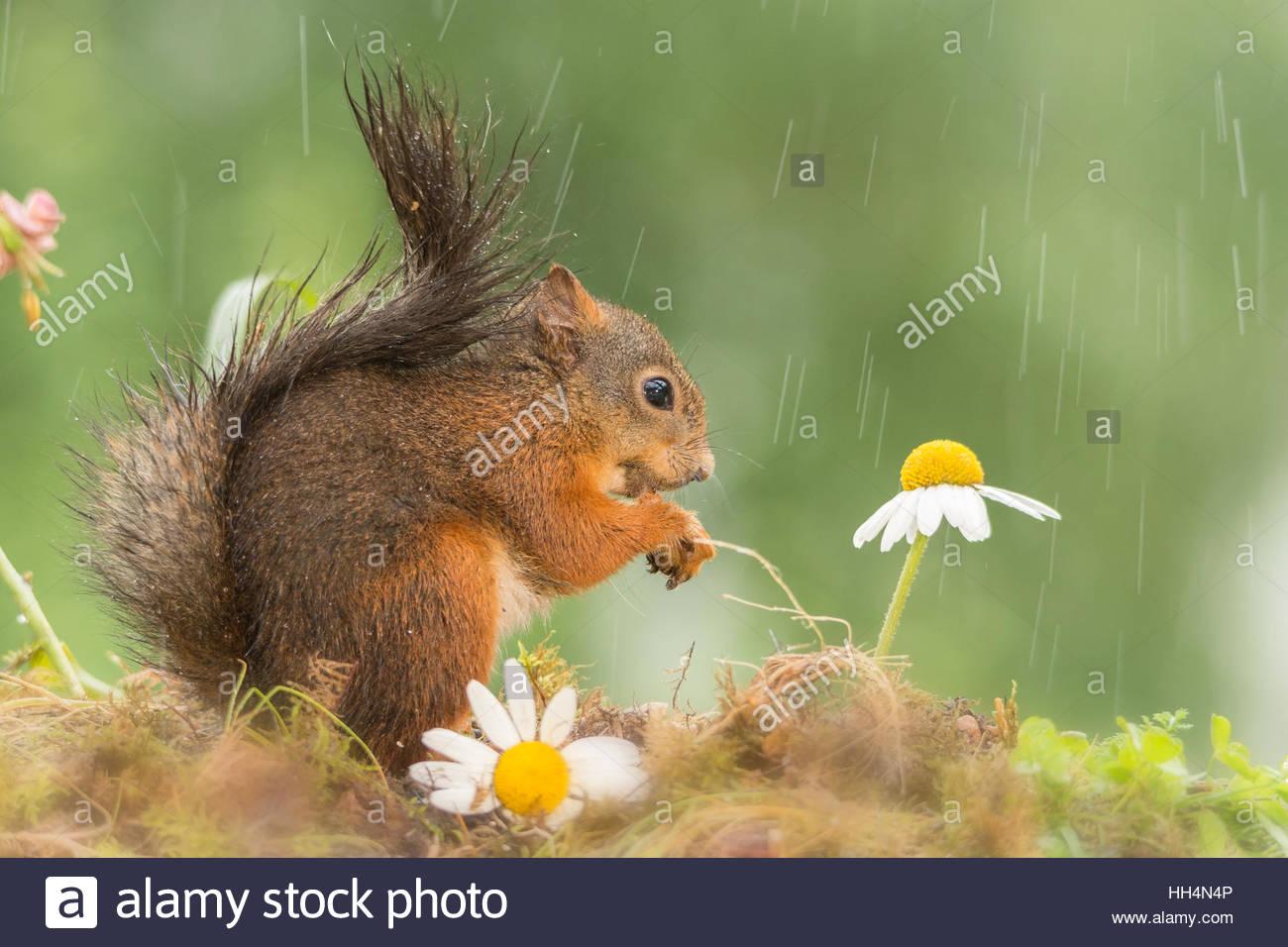 Close up of wet écureuil rouge avec des fleurs Photo Stock