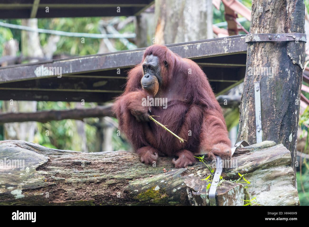 Orang-outan assis sur une branche de manger Photo Stock