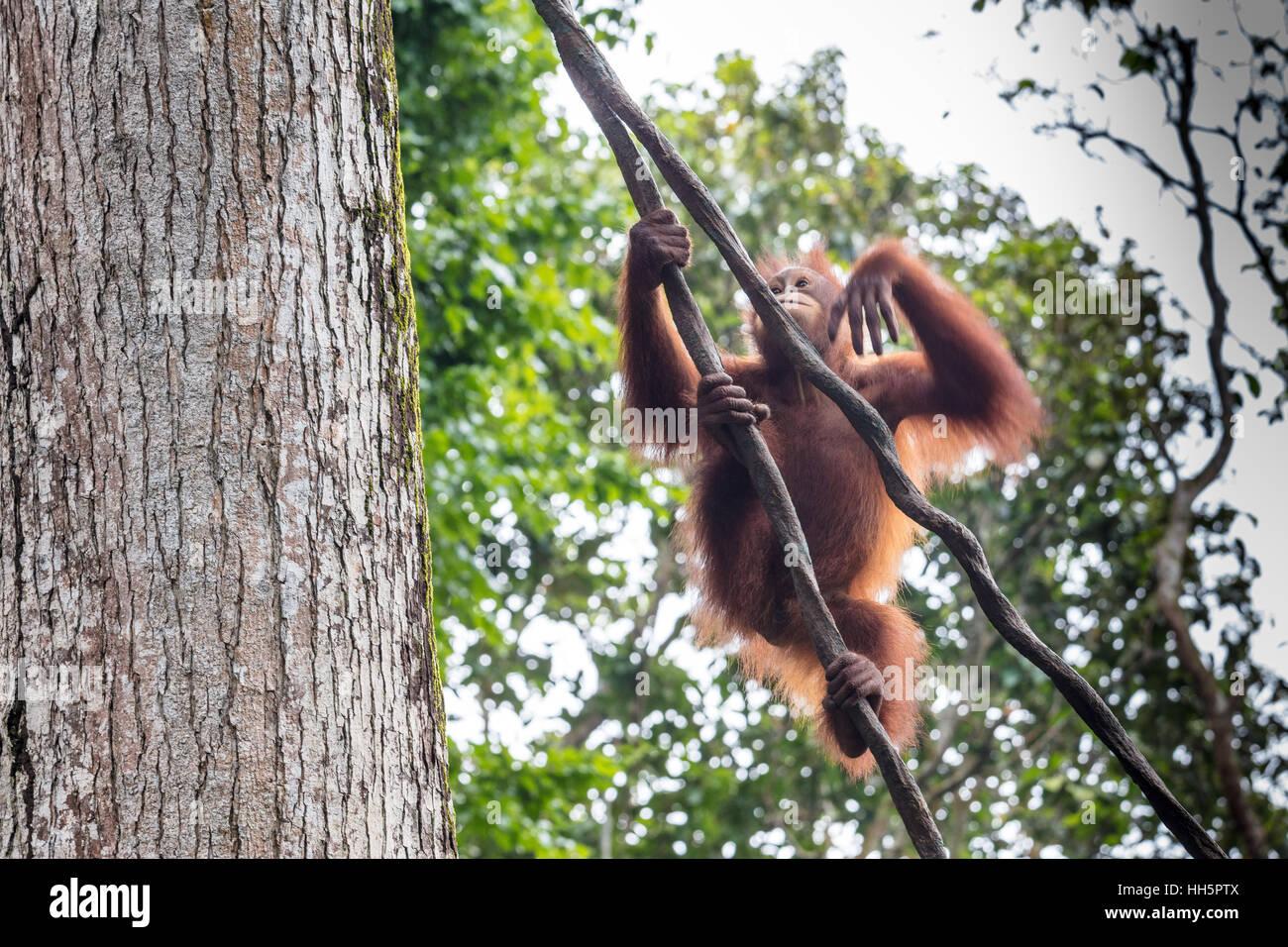 Oranguan jouant et se balancer de corde Banque D'Images