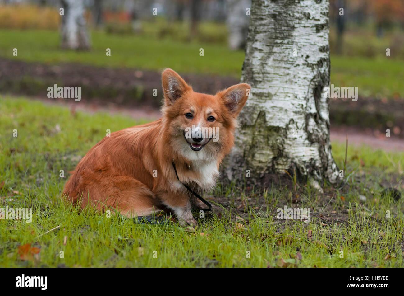 Photo d'un corgi chien curieux (race Welsh Corgi Pembroke, moelleux de couleur rouge) assis près de la birch sur l'herbe verte Banque D'Images