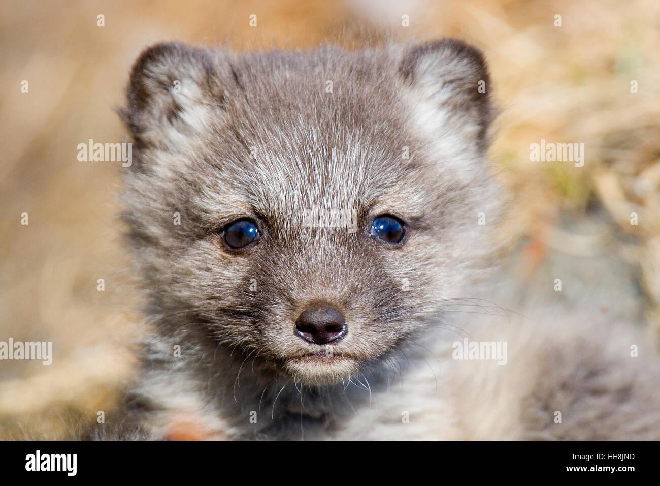 Kit de renard arctique. Banque D'Images