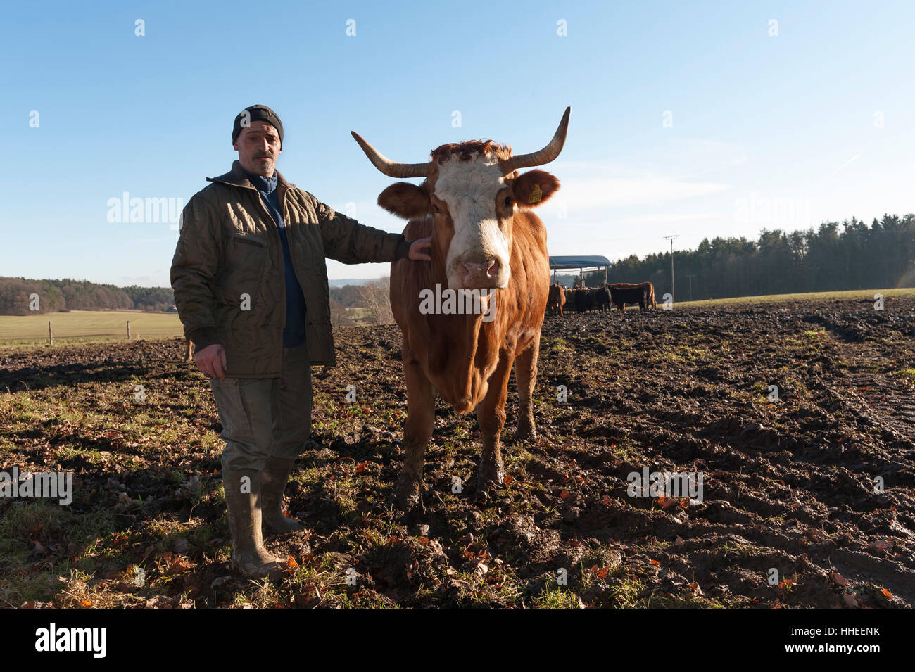 Agriculteur avec vache Salers en pâturage, Middle Franconia, Bavaria, Germany Photo Stock