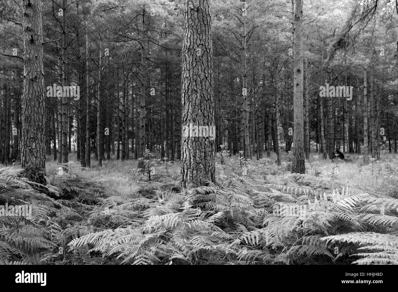 Les arbres forestiers et de fougères, Blanc Moor, Parc National de New Forest, Hampshire County ; Angleterre ; Photo Stock